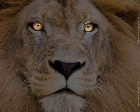 the lion and the animals zoo park lions roaring pics roaring lion pictures and closeup wallpapers