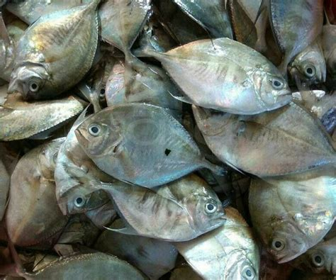 Timbangan Untuk Ikan petua mudah untuk pilih ikan segar yang baru naik dari laut bukan ikan sejuk beku lama aneka