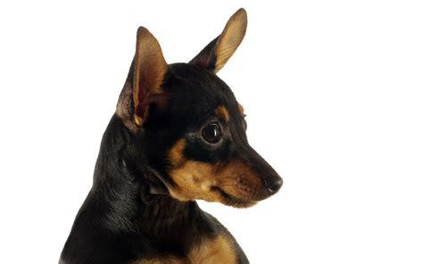 define puppy puppy pictures high definition 1215 puppy animal
