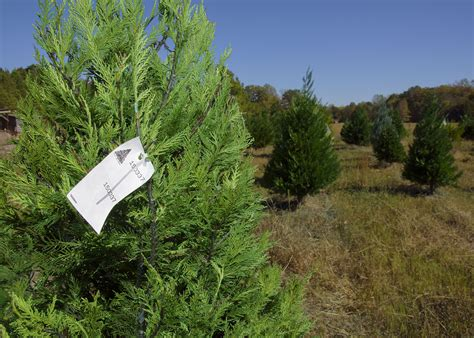 mississippi christmas tree farm tree production holds demand still rising mississippi state extension