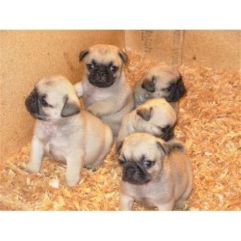 aj pug ranch timber ranch pug breeder in elkton oregon