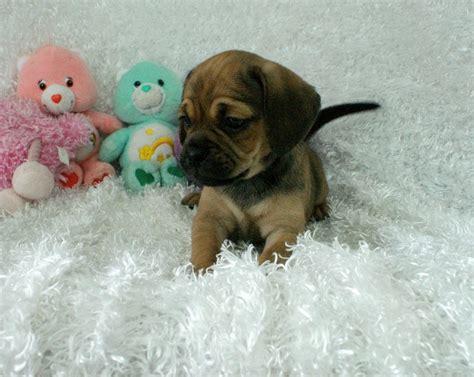 rockin r puppies moxie puggle rockin r puppies