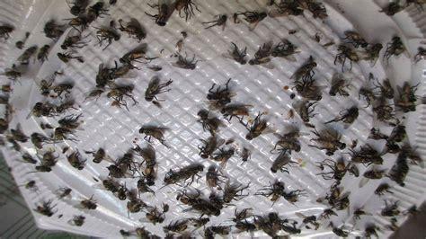 como matar zancudos con un como hacer una tra para moscas tra pegamoscas youtube
