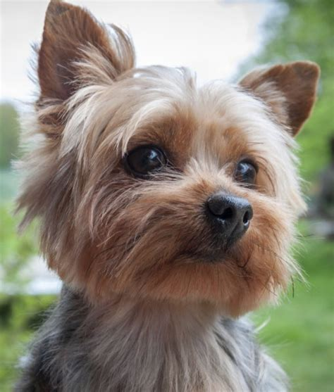 facts about teacup yorkies new york yorkie breeds picture