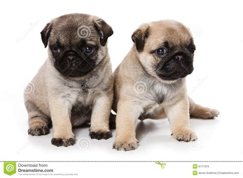 free pugs pug puppies for free 4 desktop wallpaper dogbreedswallpapers