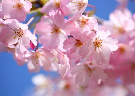 fior di ciliegio fiori di ciliegio significato simbologia e linguaggio