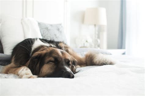 dogs sleeping in bedroom this lovely life our master bedroom reveal this lovely