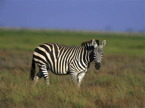 urial wallpapers animals town zebra wallpaper animals town