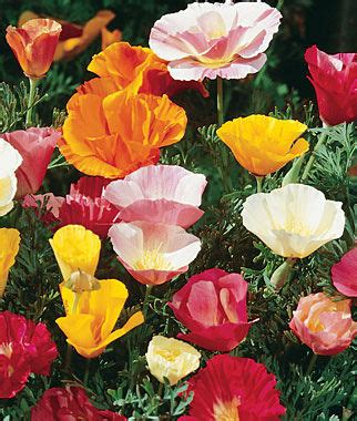 poppy flower colors sunset mixed colors poppy california seeds and plants