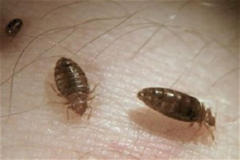 Can Bed Bugs Live In Your Clothes by So Many Questions About Bed Bugs