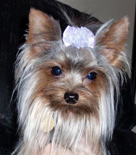 priceless yorkie puppy home priceless yorkie puppy michigan yorkie breeder breeds picture