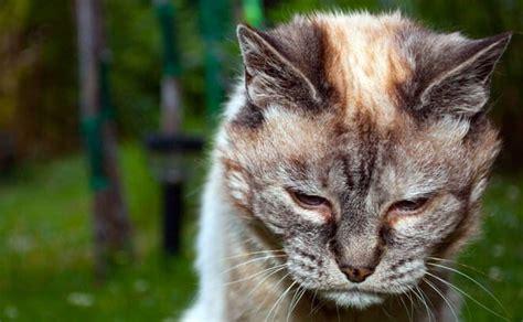 malattie alimentazione gatto anziano alimentazione disturbi malattie e altri