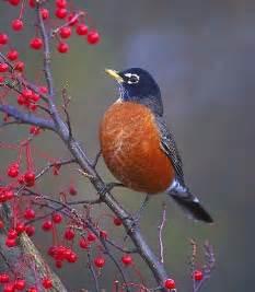 wisconsin robin state bird pictures state birds