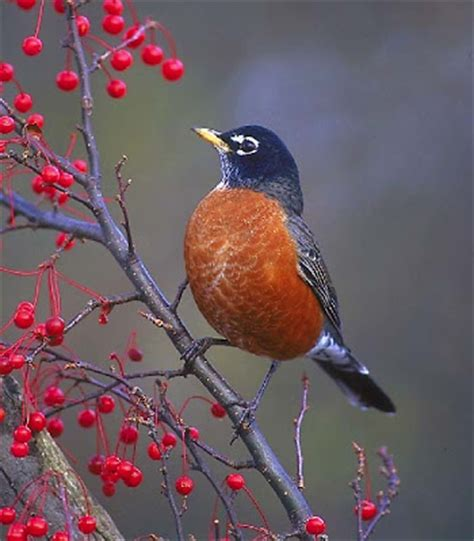 wisconsin robin state bird pictures state birds