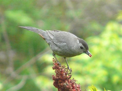toronto wildlife more gray catbirds