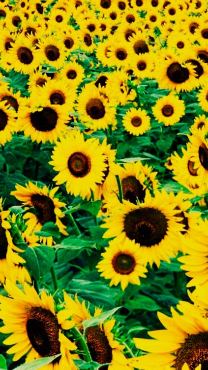wallpaper for iphone sunflower sunflowers iphone wallpaper tumblr