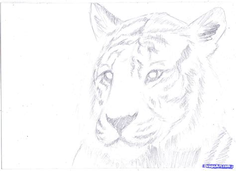 how to draw pencil drawing how to draw a white tiger draw a tiger in pencil step by