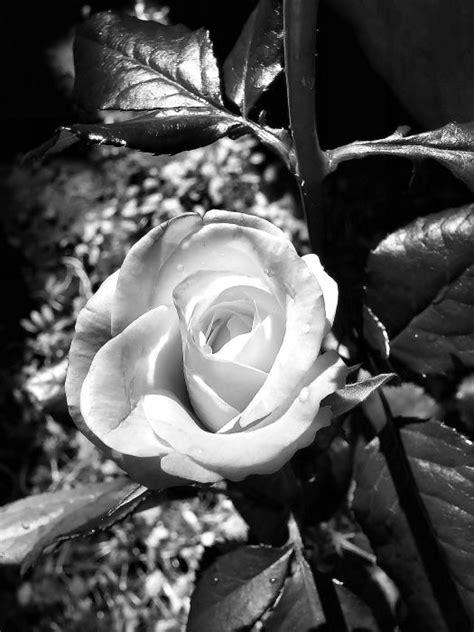 imagenes en blanco y negro de rosas foto en blanco y negro de una rosa imagen 3652 im 225 genes