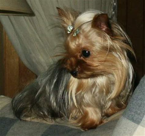 is there such thing as a teacup yorkie prissy