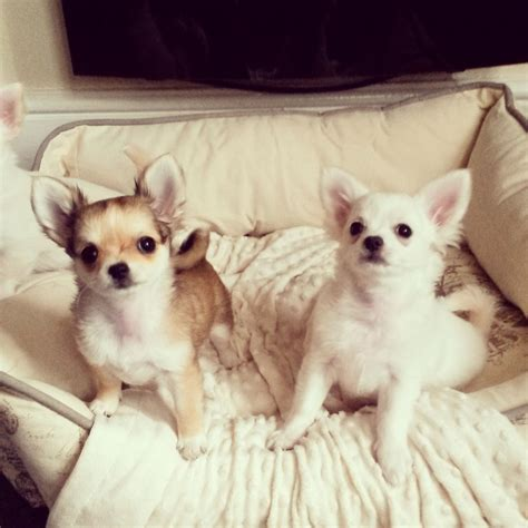 chihuahua puppies price kc coat chihuahua puppies price on enquiry folkestone kent pets4homes