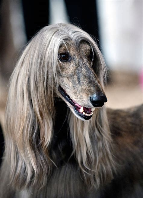 afghan breeds afghan hound breed 187 information pictures more