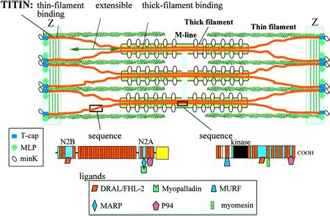 m line creatine kinase the protein titin circulation research