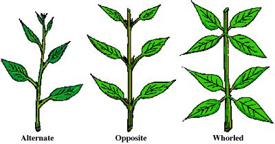 the pattern of leaf arrangement is called leaves forestry odyssey