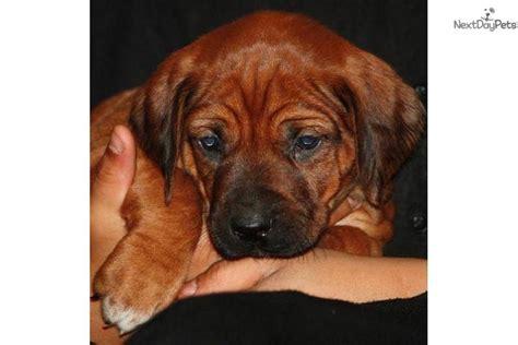 rhodesian ridgeback puppies ohio puppies rhodesian ridgeback puppy for sale near