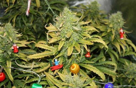 weed christmas tree www pixshark com images galleries