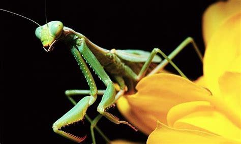 praying mantis garden pest praying mantis garden friendly bugs