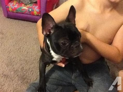 bulldog puppies for adoption in florida akc bulldog puppy for adoption 1 year for sale in brandon