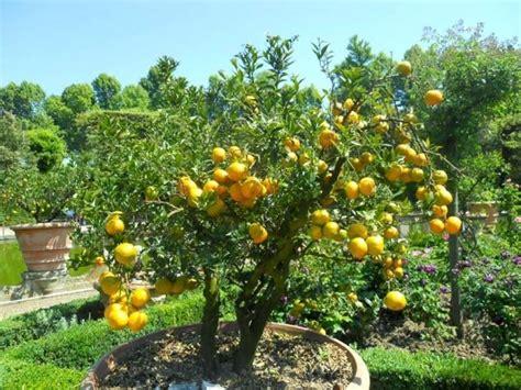 limoni in vaso agrumi in vaso il verde come coltivare gli agrumi in vaso