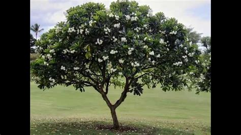 Jual Bibit Pohon Cendana Surabaya jual pohon kamboja di surabaya jawa timur