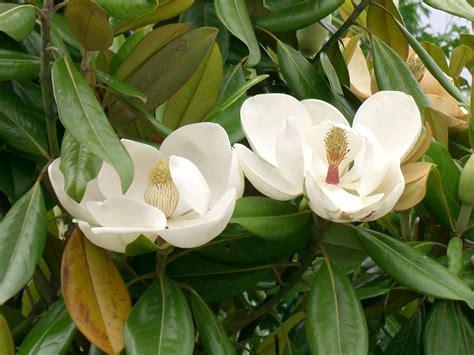 magnolia grandiflora southern magnolia world of flowering plants