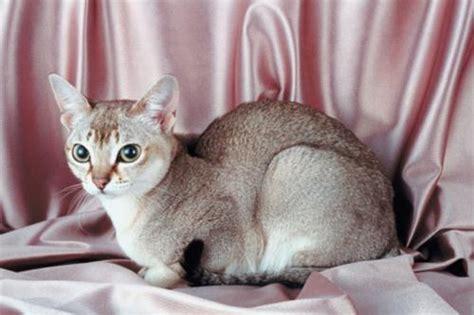 gatto da appartamento razza le 10 razze di gatto pi 249 piccole tutto ze