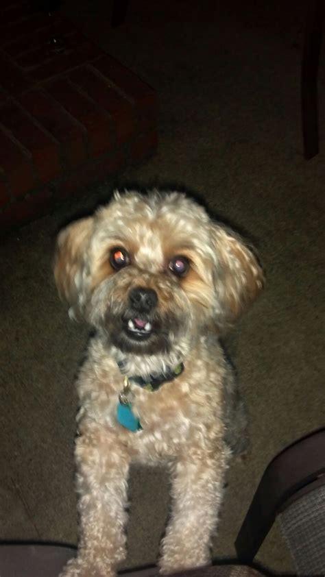 yorkie poo rescue nc yorkiepoo dogs our beloved sugar s s best friend