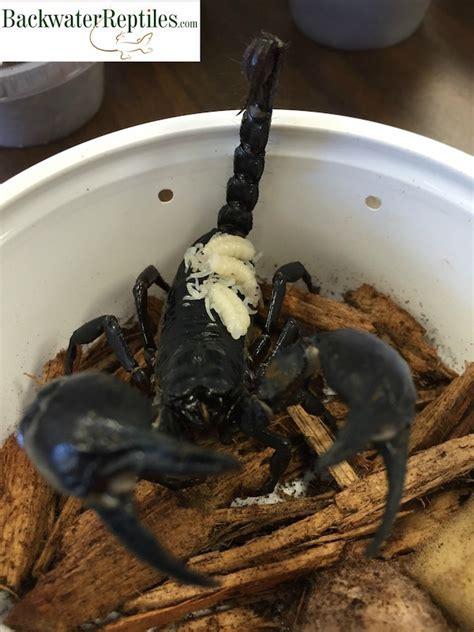 scorpions reproduce