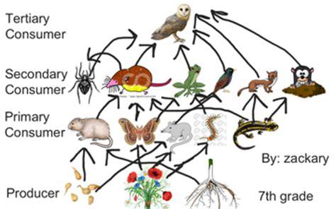 barn owl food web diagram barn owl food web educreations