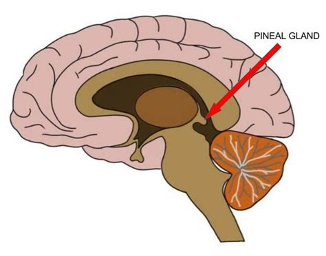 Http Humansarefree 2017 07 Pineal Gland How To Detox Part Of Your Html More by 3 Reasons To Use Melatonin Healedbybacon