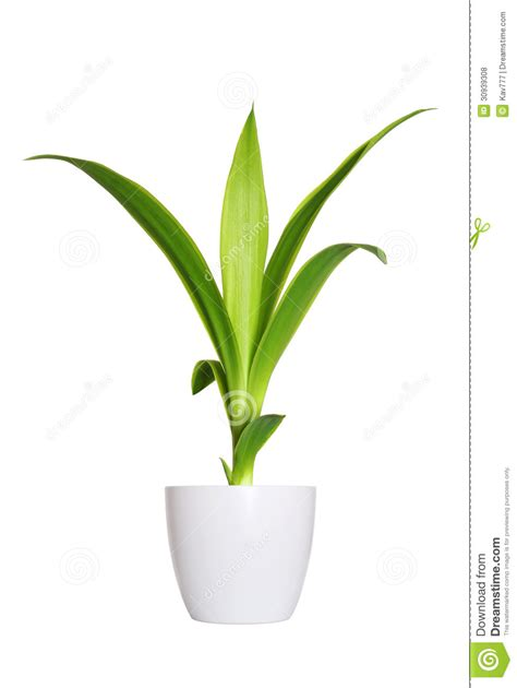 small potted plant isolated on white stock photo image young sprout of yucca a potted plant isolated over white