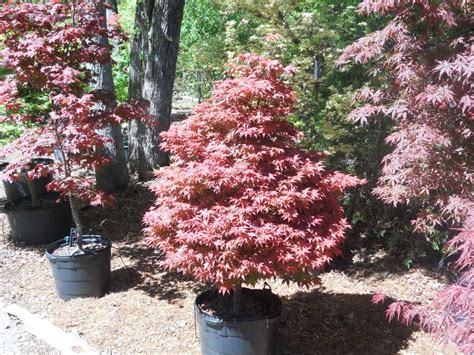 rhode island japanese maple architectural trees