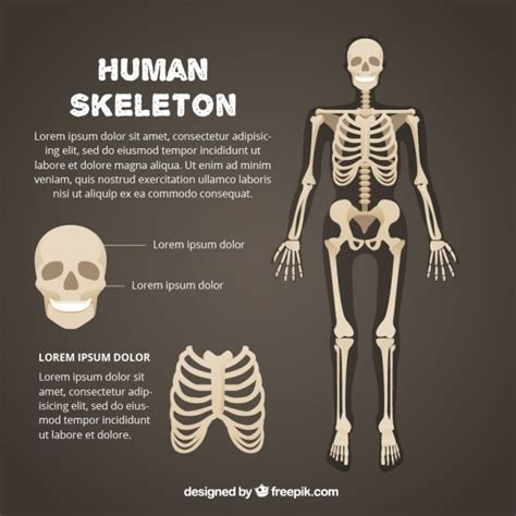 skeleton template skeleton vectors photos and psd files free