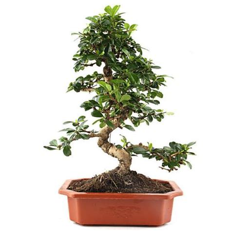 indoor plants india buy plants online in india indoor plants bonsai plants