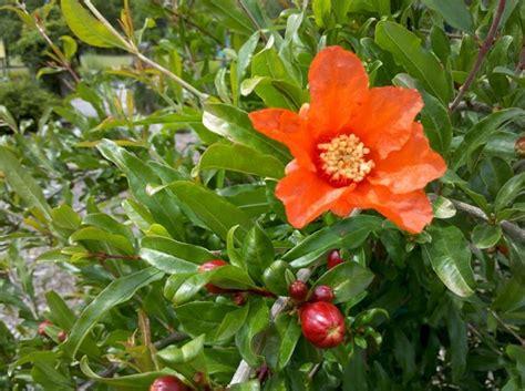 fiori melograno melograno da fiore punica granatum punica granatum