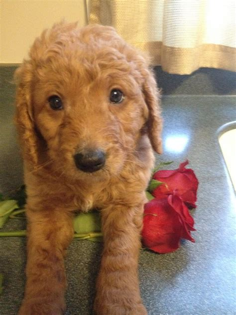 goldendoodle puppy problems the 25 best goldendoodle ideas on