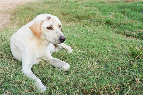 puppy pyoderma muzzle pyoderma in dogs symptoms causes diagnosis treatment recovery management