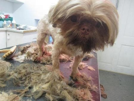 shih tzu age problems 140 dogs rescued in largest operation of its type breakingnews ie