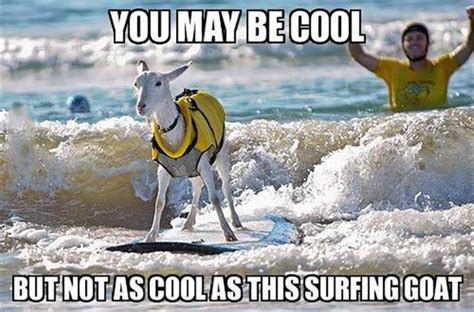 Surf Shirt Meme - you may be cool but not as cool as this surfing goat funny