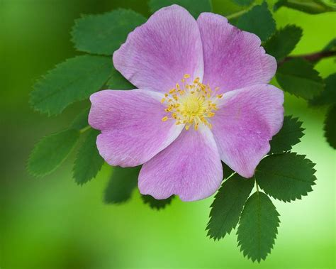 state flower of iowa wild prairie rose iowa s state flower serious business pinterest