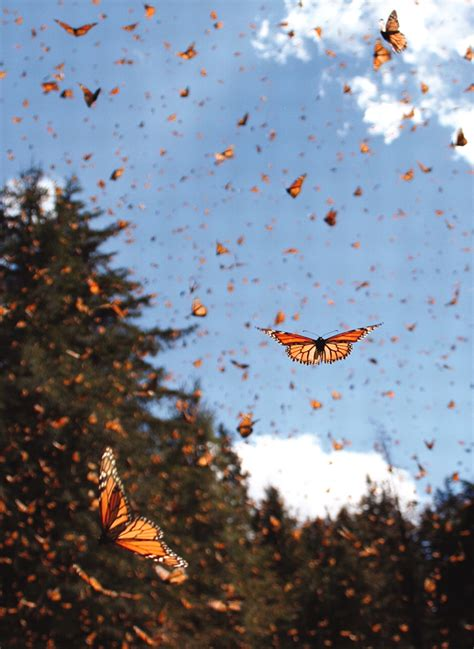 on the wing travels with the songbird migration of books migrating monarch butterflies danaus plexippus travel